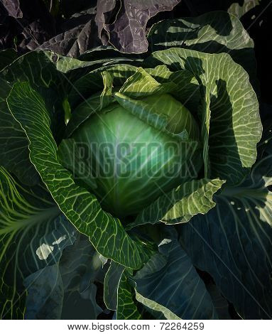 Cabbage Closeup