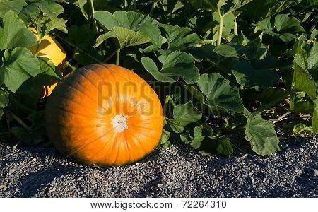 Pumpkin Garden