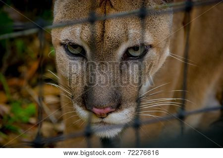 cougar face  closeup