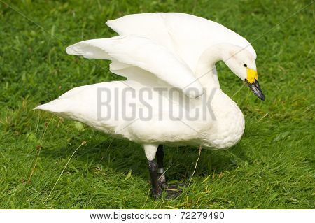 Whooper Swan With Yellow Beak Stretching Wings