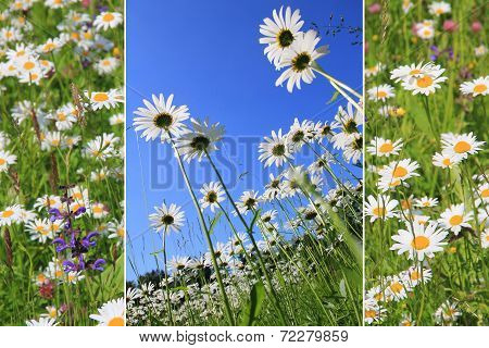 Triple Marguerite Meadow