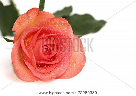 Orange Rose With Dewdrops