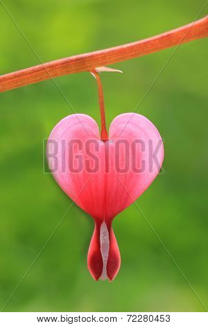 One Bleeding Heart Bloom Isolated, Against Green Background