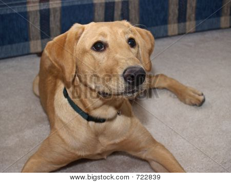 Labrador Retriever 2