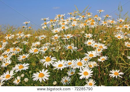 Wild Marguerites In The Fields