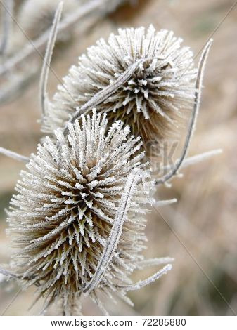 Withered Frosty Common Teasel In Winter