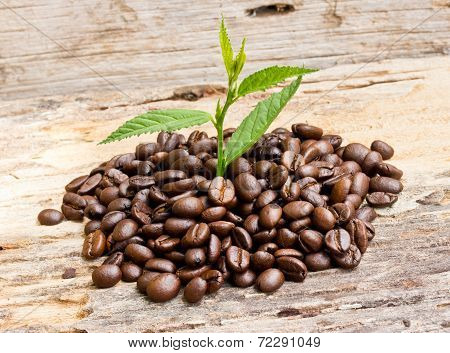 Coffee Beans .and Plant Grow On Wood