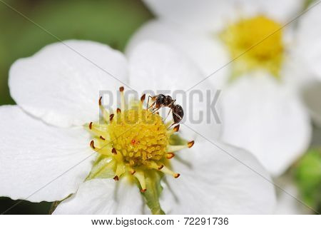 Ant Strawberry Flower Nectar