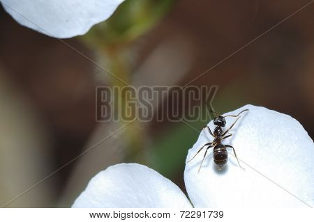Ant On White Bloom