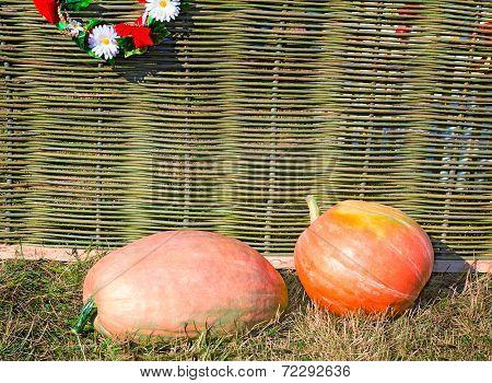 Two Big Pumpkins Lie At A Wattled Fence.