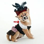 image of wench  - Little Shiba Inu puppy dressed up in a pirate wench outfit looking very proud of herself on a white background - JPG