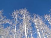 Bare Winter Aspens Against Deep Blue Sky