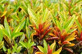 picture of croton  - gorgeous Croton  - JPG