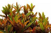 image of crotons  - Codiaeum variegatum leaves isolated on white background - JPG