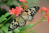 stock photo of nymphs  - White Tree Nymph butterfly with red flowers - JPG