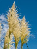 foto of pampa  - Group of pampas grass  - JPG