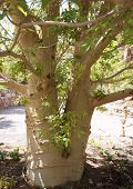 pic of baobab  - Big tall trunk of African baobab tree  - JPG