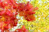 foto of mountain-ash  - Autumn background with a red mountain ash on a background of trees - JPG
