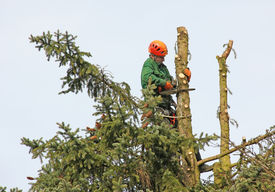 picture of cutting trees  - lumberjack in the fir tree top cutting down a tree  - JPG
