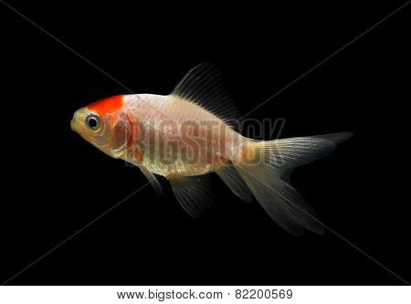 Gold Fish Isolated On The Back Background