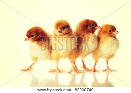 Group of small Easter chicken.