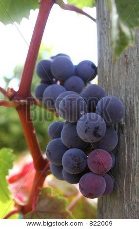 Ripe Grape Cluster