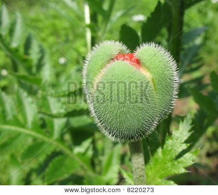 Oriental poppy bud (Papaver orientale ).