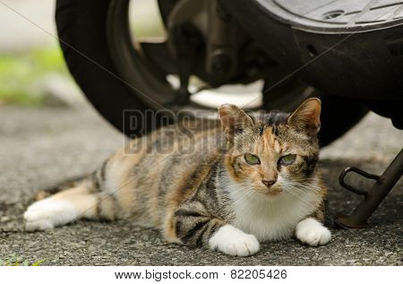Beautiful tortoiseshell cat sitting on ground near motorcycle in urban.