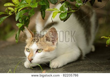 Hunting cat with concentrated expression in outdoor.