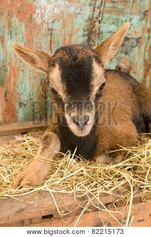 Ten days old little brown baby dwarf goat