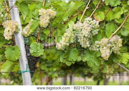 white grapes in vineyard, Southern Moravia, Czech Republic