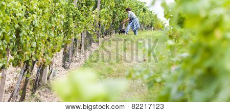 wine harvest in Southern Moravia, Czech Republic