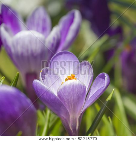 Background with fresh spring flowers - violet crocuses