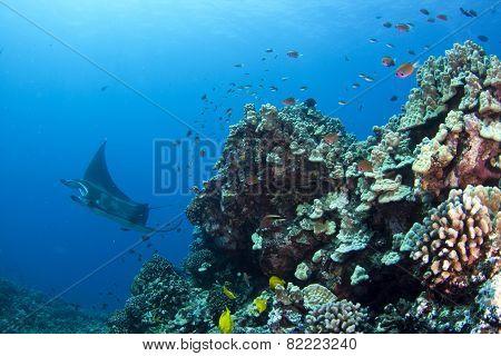 Manta Ray Reefscape