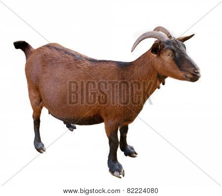 goat. domesticated, brown color. top view. Isolated over white background