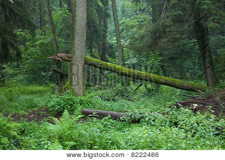 Old Riparian Forest