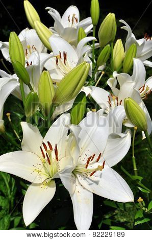 White Easter lily in bloom
