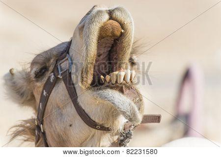 Camel's smile