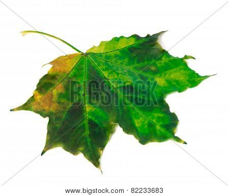 Multicolor Maple Leaf On White Background