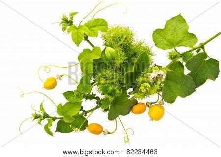 Vine Plant