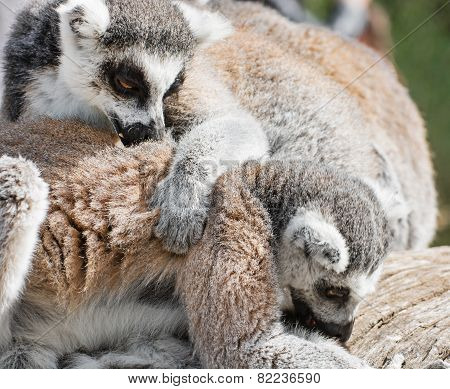 Lemurs Playing