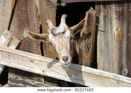 Bearded goat looking through a wooden fence boards
