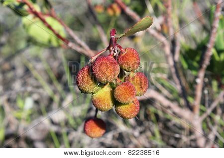 Strawberry Tree - Close View