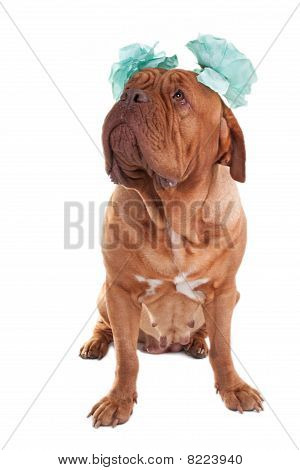 Female Dogue With Bows