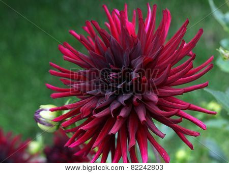 Dahlia Red Flower On Green Defocused Background