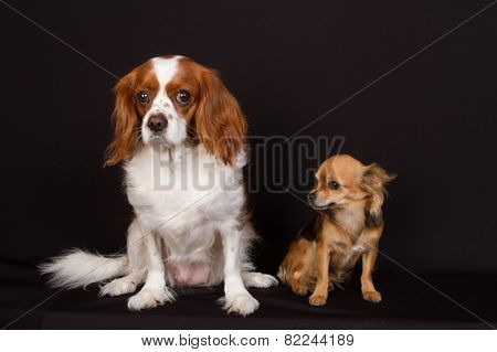 Two Dogs Under Black Background : Cavalier King Charles And Chihuahua