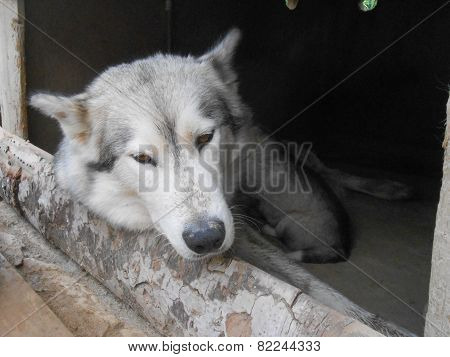 Young European Wolf Female Relaxing