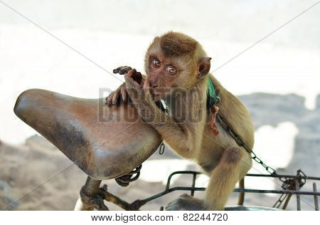 Monkey On A Chain