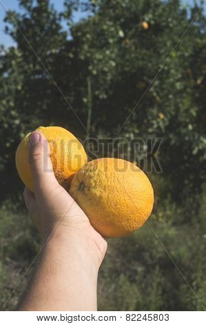 Oranges On A Branch.