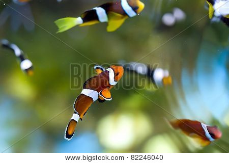 Reef Fish , Clown Fish Or Anemone Fish